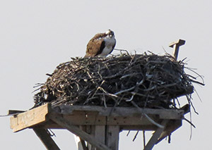 Osprey on its nest, photo by Carena Pooth