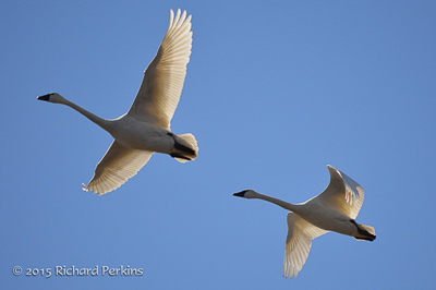 Tundra Swans, photo by Richard Perkins