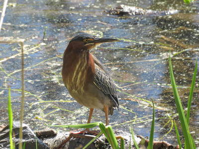 Green Heron, photo by Carena Pooth