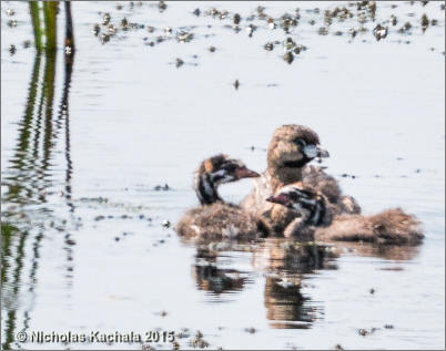 Pied-billed Grebe with young, photo by Nicholas Kachala