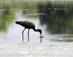 Glossy Ibis at Jamaica Bay, photo by Silas Hernandez