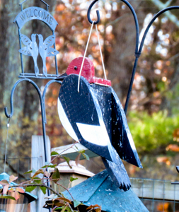 Red-headed Woodpecker feeder, photo by Carena Pooth
