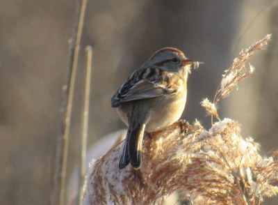 American Tree Sparrow - photo by Rion Yoshimura