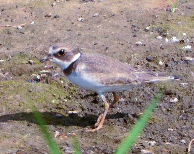 Semipalmated Plover - Photo by Nick Kachala
