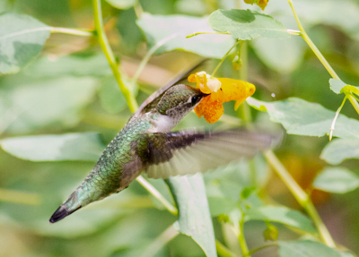 Ruby-throated Hummingbird - photo by August Davidson-Onsgard