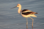 American Avocet, photo by Rachel Smith