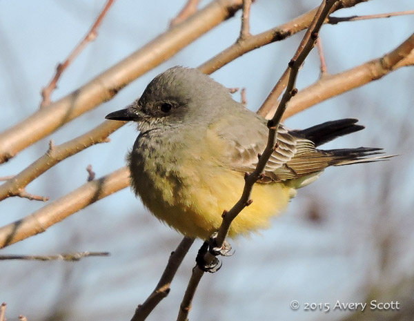 Cassin's Kingbird, Brooklyn, NY 1/2/2015, photo by Avery Scott