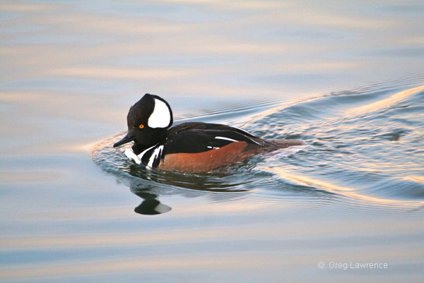 Hooded Merganser, photo by Greg Lawrence