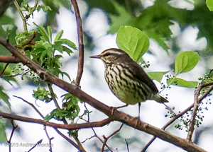 Northern Waterthrush, photo by Andrew Marden
