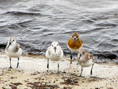 Sanderlings in various plumages, photo by Eamon Freiburger