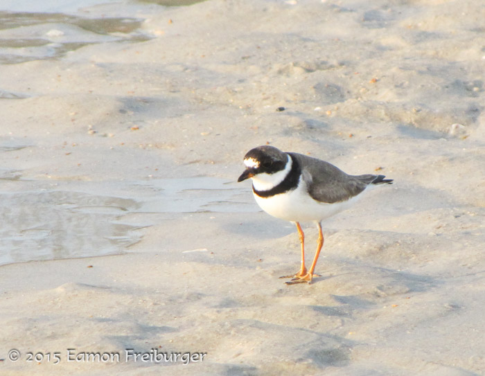 Semipalmated Plover, photo by Eamon Freiburger